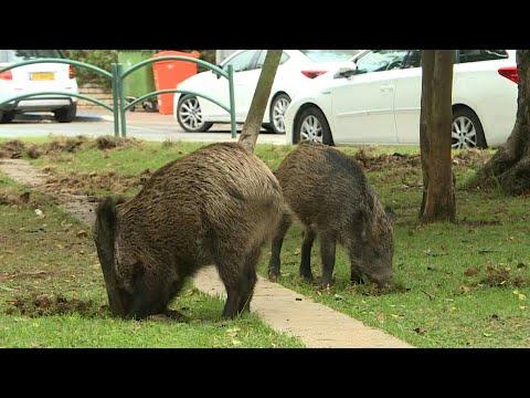 Boorish Boars Causing Trouble In Israel's Haifa | AFP