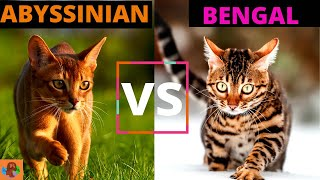 The Abyssinian Cat vs The Bengal Cat (Breed Comparison)!