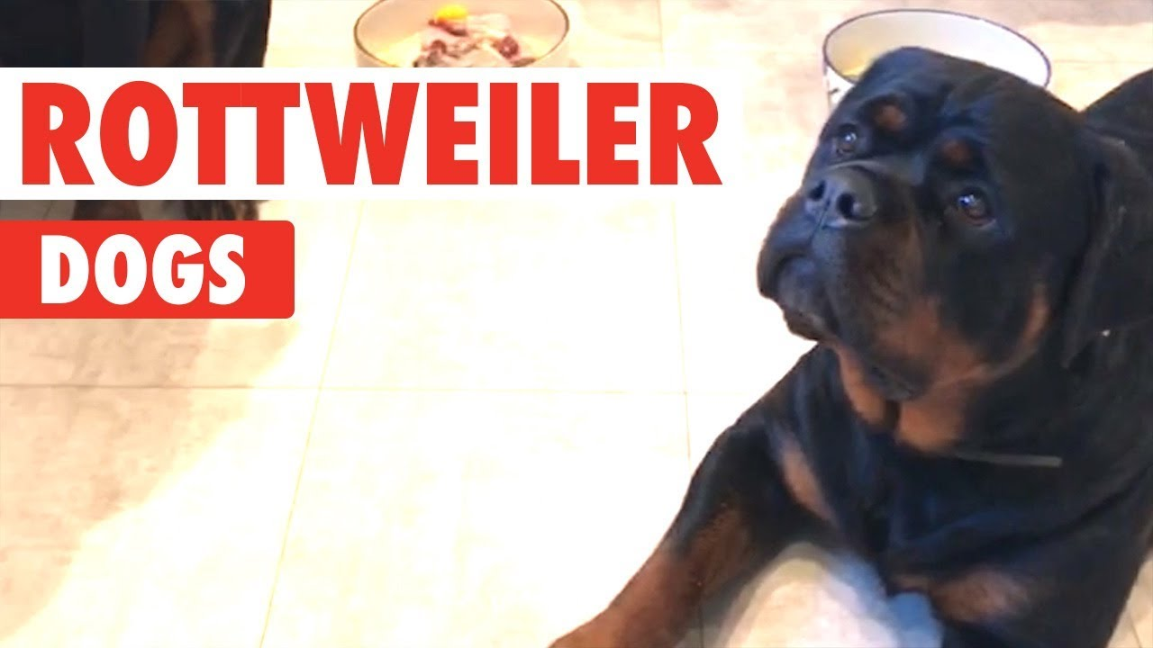 Rottweiler Dogs Video Compilation Breed All About It Youtube