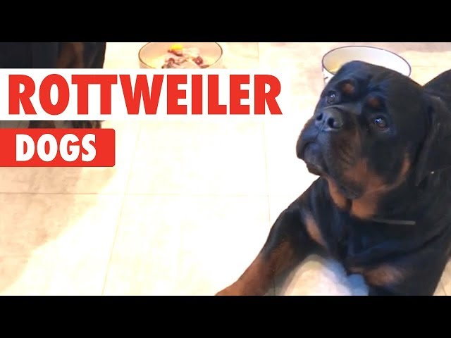 Rottweiler Dogs Video Compilation | Breed All About It