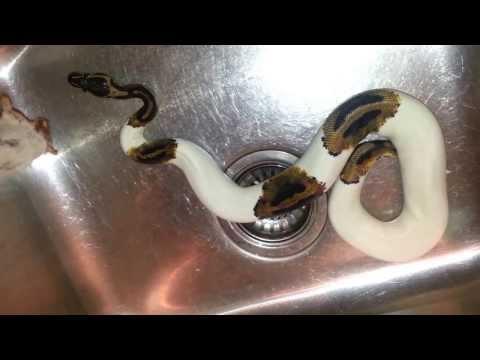 Ball Python Feeding Frozen 40