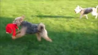 Wire Fox Terrier Paisley & Welsh Terrier Phoebe - Playtime Pals