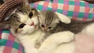 「かわいい猫」 母親と遊んでいる子猫 - 最も面白い猫の映画2018 #242 h...