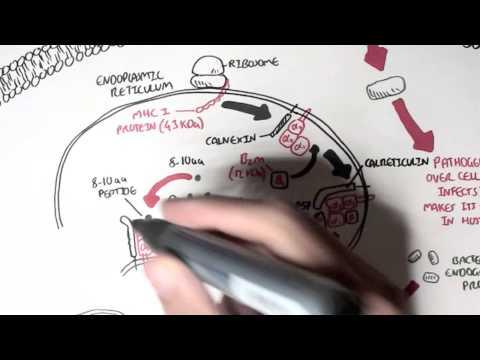 Immunology - MHC I Processing