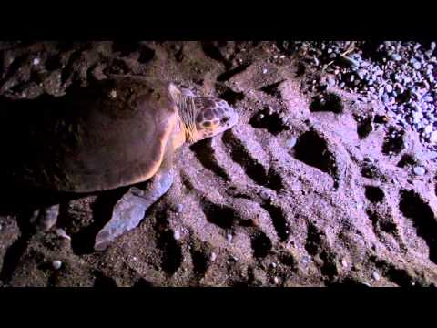 Ecotourism and turtle conservation in Çirali, Antalaya, Turkey - The Turtle and The Tourist