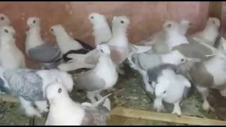 satinette pigeons for export 03459442750 Zain Ali Farming in Pakistan