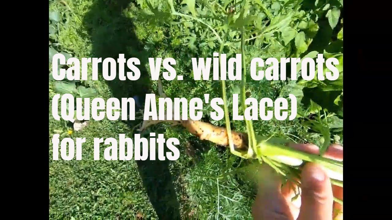 Feeding rabbits carrots vs. wild carrots