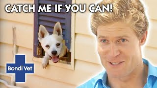 How Does This Dog KEEP ESCAPING?!? | Classic Clip | Bondi Vet
