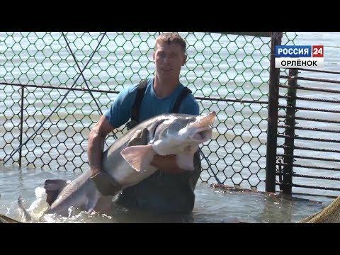 Редкая осетровая рыба
