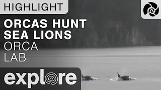Orcas Hunting Stellar Sea Lions - Live Camera Highlight