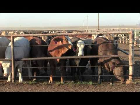 Video Postcard: Cattle Call - Amarillo, Texas