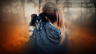 Pepper  Shetland Sheepdog [9 years]