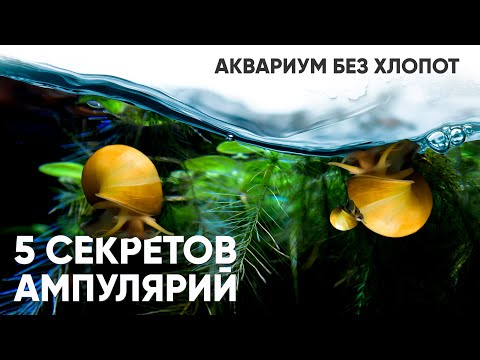 5 секретов ампулярий и мой аквариум без хлопот