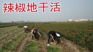妯娌俩回娘家干活,三亩辣椒长的火红火红哩,妯娌俩忙着也开心【牛不啦妯娌】
