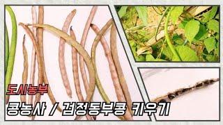 [도시농부/ASMR] 검정동부콩키우기 / 콩수확 / 콩…