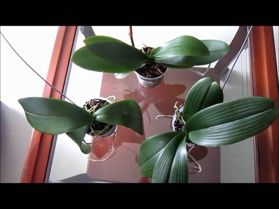 Cuidados Preliminares Para Orquideas Phalaenopsis Nuevas O - Cuidados-de-la-orqudea