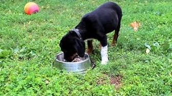 Правилно натурално хранене на кучето