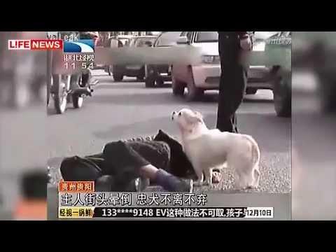 Преданный пес защитил упавшего в обморок хозяина