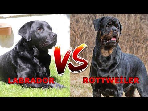 Labrador Retriever ve Rottweiler Köpek Irkı Arasındaki Farklar