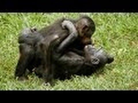 Monkey Mating Chimpanzee Sex Tape YouTube