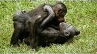 Monkey Mating - Chimpanzee Sex Tape