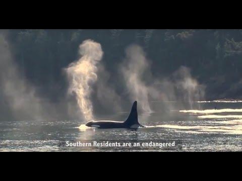 Killer Whales & Kinder Morgan