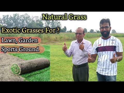 Buy Exotic Natural Grasses For Lawn, Garden, Yard, Sports Ground | At Wholesale Price