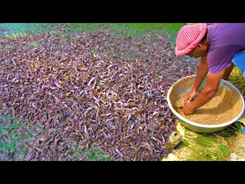 Hybrid Magur Fish Farming Business in India | Million Catfish Eating Food in Pond | হাইব্রিড মাগুর