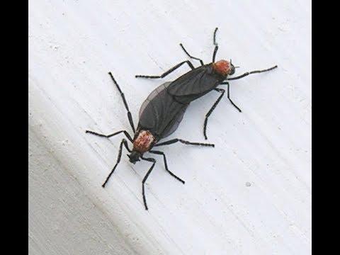 Insectos Extraños Del Amor (Love Bugs )  Florida