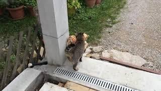 My cat borrowed neighbor's plush tiger toy