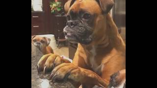 Ultimate Boxer Dog Compilation #6 - The Best Of Funny Moments