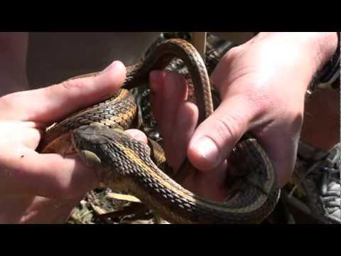 Red-sided gartersnake bite