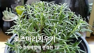 로즈마리 키우기 / 수경재배할때 쓰는 소소한 팁 /진디…
