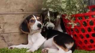 Litter Of Beagle Puppies June 2014 @ Kellyskennels.co.uk