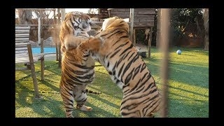 Only a tiger can slap dust from another tiger !