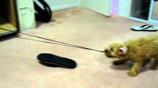 Cockapoo Puppy Vandalism (cocker Spaniel X Poodle)