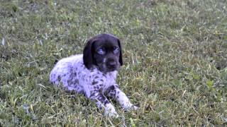 "Hunting Dogs - German Shorthaired Pointer - Donau-wirbeln ""m"" Litter"