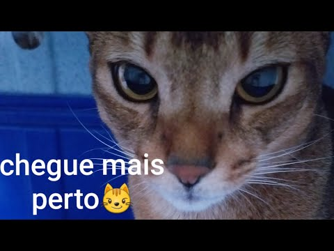 Gatinha tenta comer o meu dedo | My abyssinian cat tries to eat my finger(with rain drops sounds😂)