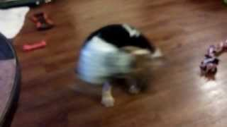 Beagle Puppy, Jax, Chasing His Tail