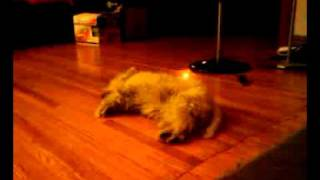 My Westie Coconut Having Puppy Rem Sleep
