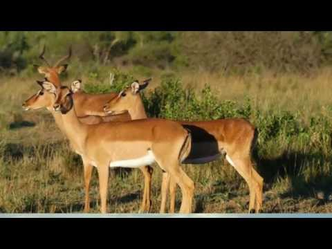 What Killed 60,000 Antelope in 4 Days?