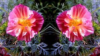 видео Шток-роза: посадка, уход и фото в открытом грунте, сочетание в ландшафтном дизайне, размножение и выращивание сорта