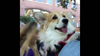 Maxine the Fluffy Corgi Rides the NYC Subway - Part 3