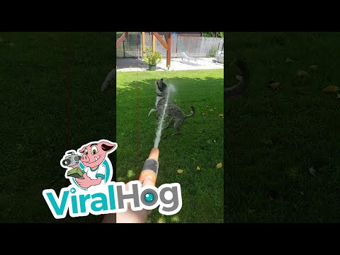 American Staffordshire Sprints Through the Sprinkler || ViralHog