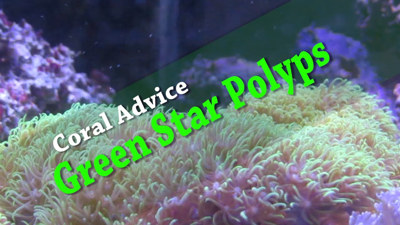 Coral Advice Green Star Polyps YouTube