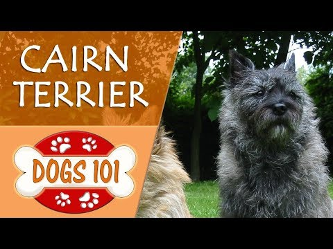 Dogs 101 - CAIRN TERRIER - Top Dog Facts About the CAIRN TERRIER