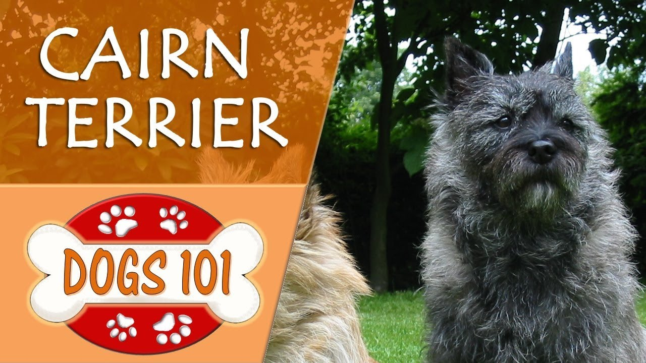Dogs 101 Cairn Terrier Top Dog Facts About The Cairn Terrier Youtube