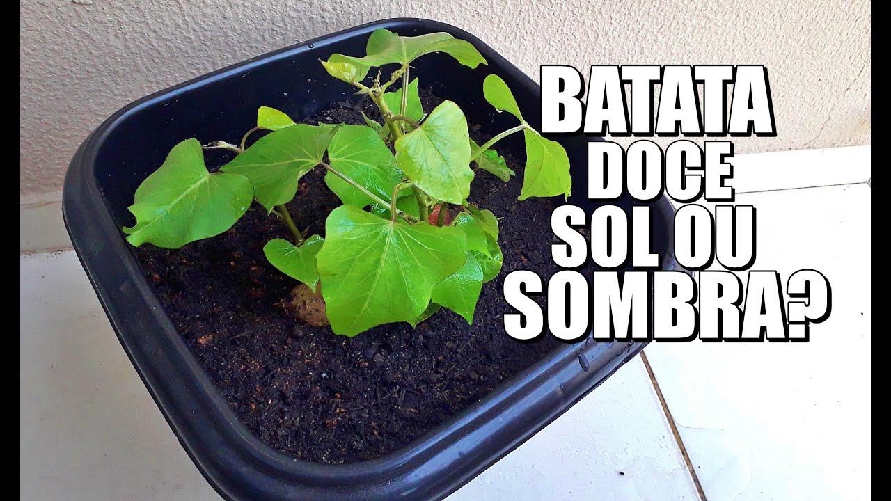 PLANTAR BATATA DOCE NO SOL OU SOMBRA?