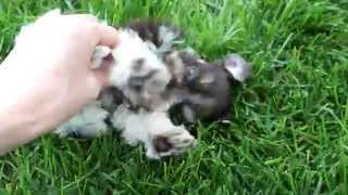 Teacup Schnauzer Puppies Playing