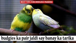 budgies ka pair jaldi say banay ka tarika | budgies pair ku nahi banatay wajha tips in urdu/hindhi